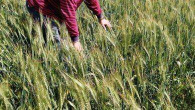 Photo of مدير عام المكافحة بوزارة الزراعة يتفقد محصول القمح بالبحيرة