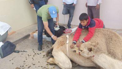 Photo of الزراعة: القافلة البيطرية المجانية تختتم اعمالها في جنوب سيناء بفحص 1076 هجن في مضمار شرم الشيخ الدولي