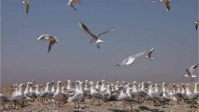 Photo of البيئة: بدء موسم رصد وتسجيل الطيور المهاجرة من اوروبا خلال موسم الخريف